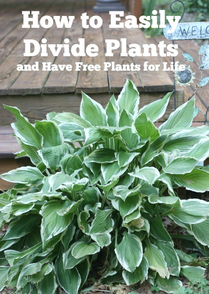 Easily Divide Hosta And Daylilies And Have Free Plants For Life